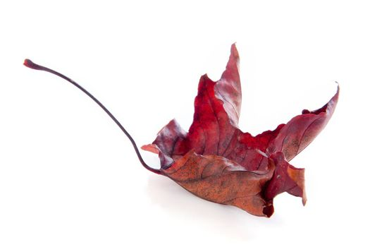 An Autumn leave on a white background