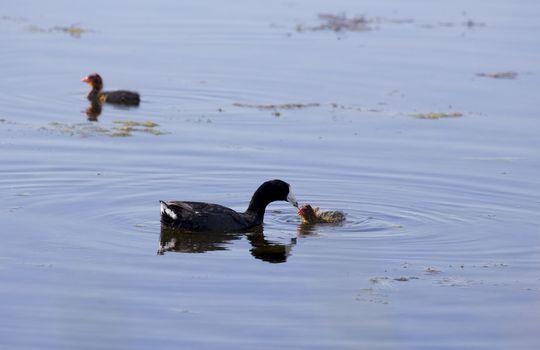 American Coot and babies waterhen Saskatchewan Canada