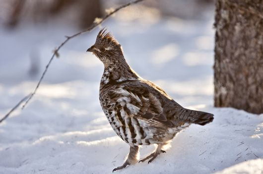 Spruce Grouse in Winter