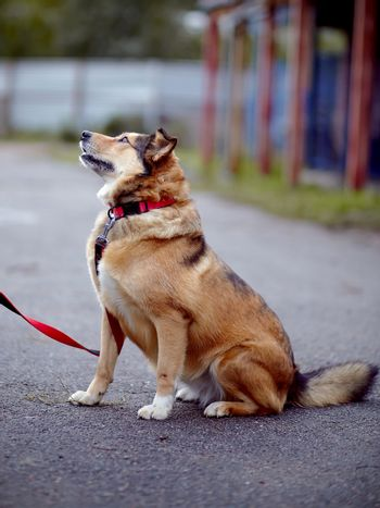 The red not purebred dog sits on the road
