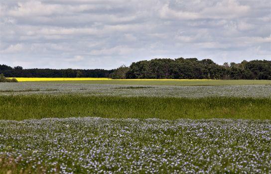 Flax Bloom
