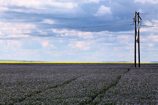 Flax and canola crop