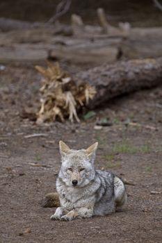 Wild Timber wolf