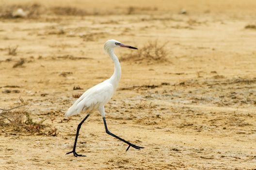 Great Egret walking in a dry landscape in La Guajira, Colombia