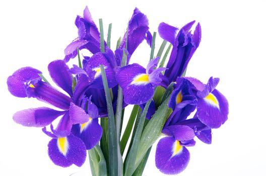 Iris Bunch