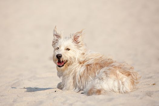 Cute golden dog laying at the beach on a sunny day.