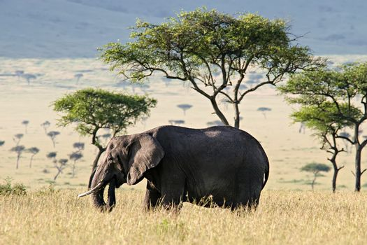 Elephant walking through the Savannah in Massai Mara, Kenya.