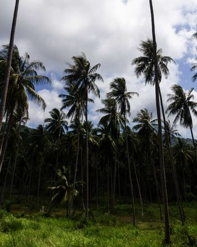 Coconut plantation on the Samui Island in Thailand