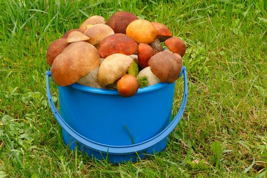 Mushrooms of different varieties are in the blue bucket against the background of the forest clearing.