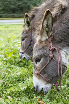 detail shot of two brown donkeys eating grass