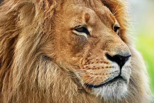 Lion portrait with rich mane on savanna, safari
