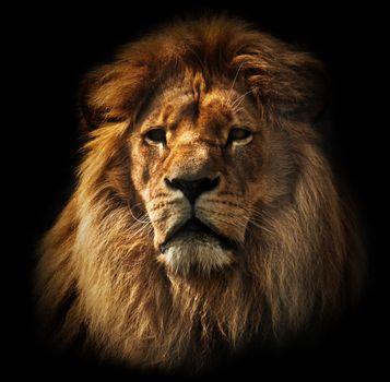 Lion portrait with rich mane on black
