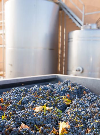 cabernet sauvignon vinemaking with grapes and tanks