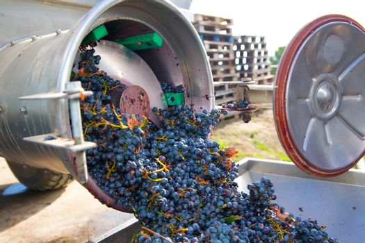 corkscrew crusher destemmer winemaking with grapes