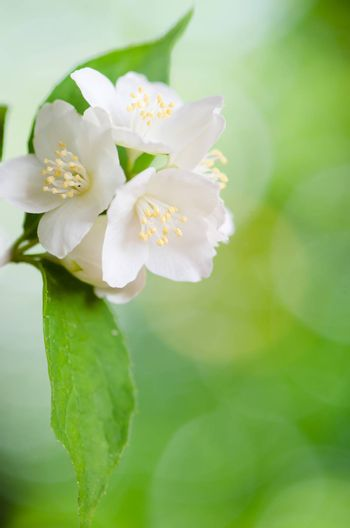 Beautiful flowers of a jasmin, close up. Summer  background