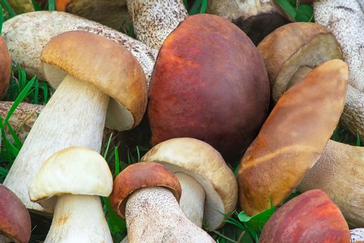 A large number of collected mushrooms lying on the grass in the forest. Photographed close up.