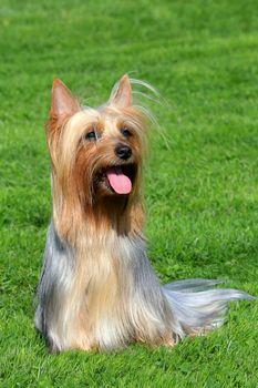 Australian Silky Terrier on a green grass lawn