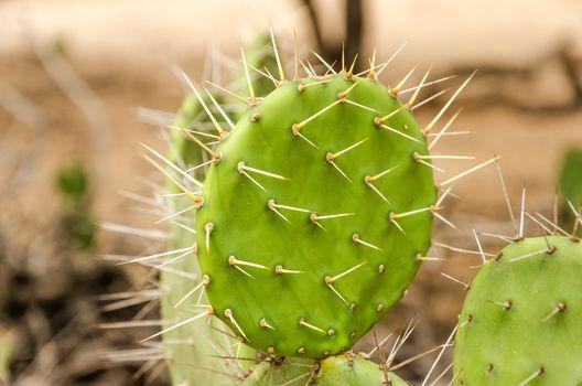 Closeup view of a cactus in La Guajira, Colombia