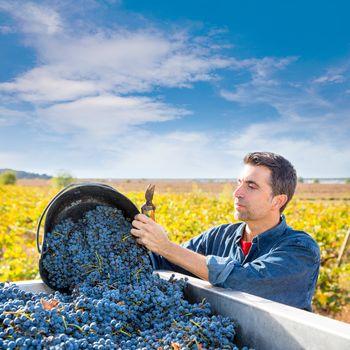 Mediterranean vineyard farmer harvest cabernet sauvignon