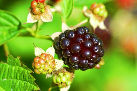 blackberry close up