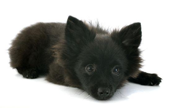 puppy spitz