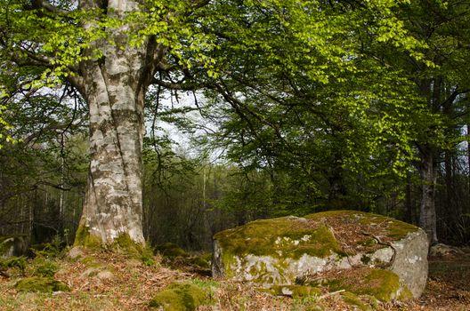 Old beech trunk