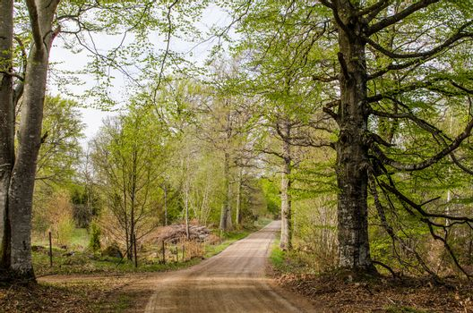 Beeches by a dirt road
