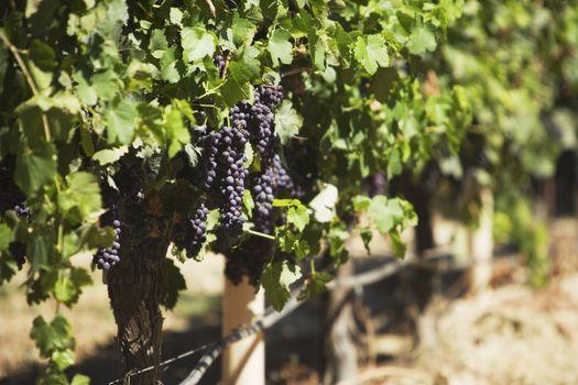 Ripe purple grapes in vineyard
