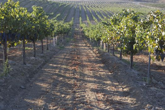 Pathway in the vineyard with rows of grape plantations