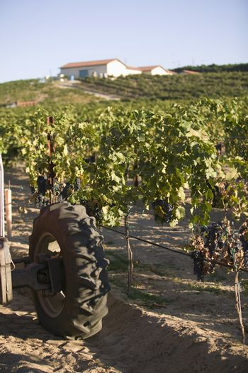 Cropped image of wheel of an agricultural tractor in a vineyard