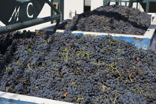 Harvested grapes in containers