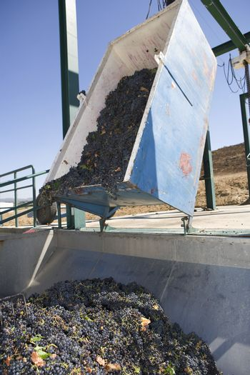 A grape harvester unloading grapes into a huge container
