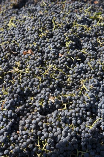 High angle view of fresh harvested grapes