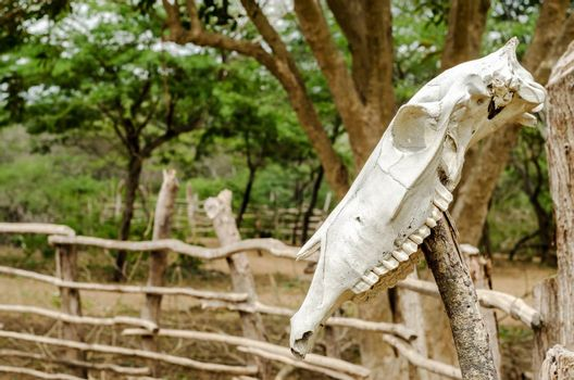 An old white cow skull on a fencepost
