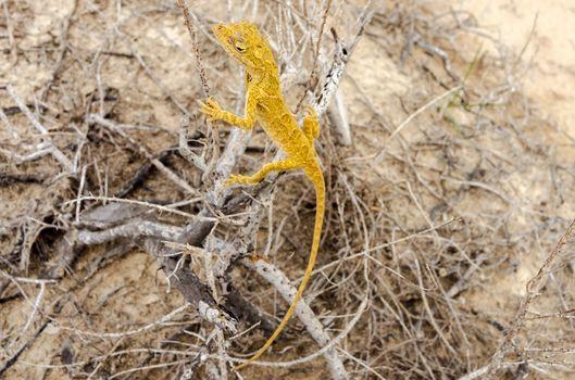 Small yellow lizard in La Guajira, Colombia