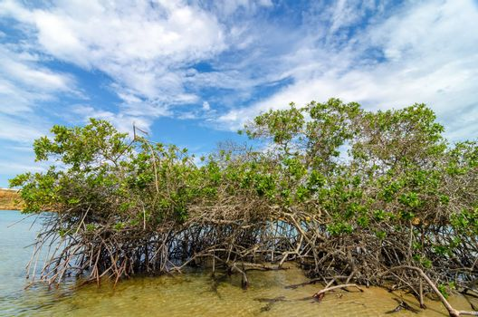 Mangrove tree and roots in La Guajira, Colombia