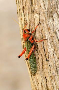 Large red and green grasshopper closeup in La Guajira, Colombia