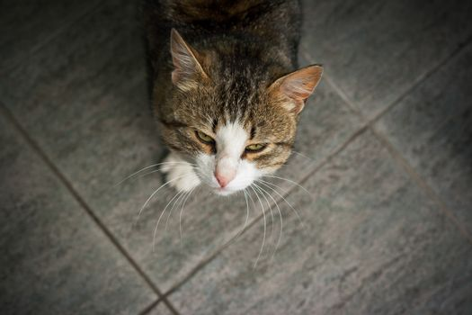 Tabby cat stands on a floor of tile