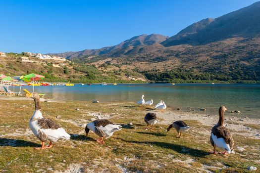Geese on the shore Kournas lake, the only freshwater lake in Crete. Greece