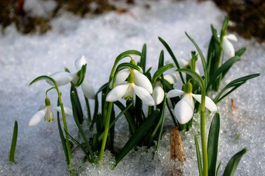 spring snowdrop snowflake flowers blooms between snow in forest. white seasonal beauty.