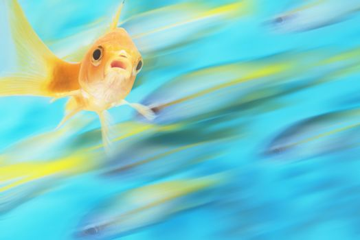 Gold fish swimming among other fish