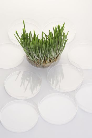 Grass seedlings in petri dish elevated view