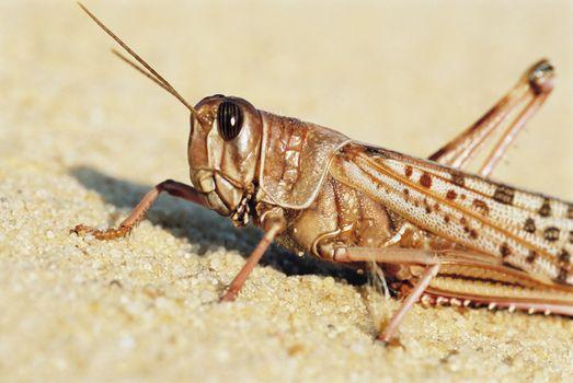 Closeup of desert locust