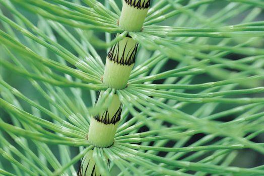 Horsetail Stem close up (Equisetum)