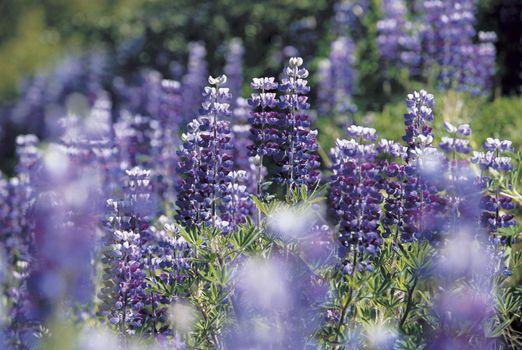 Field Of Purple Lupines
