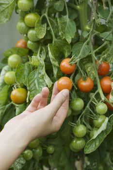 Closeup of a hand touching fresh tomato on plant