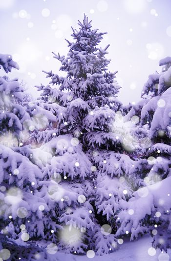 Christmas Trees under Beautiful Snow Cover