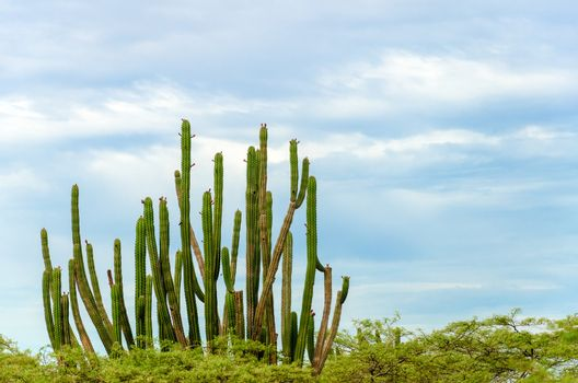 Tall cactus rising over low trees in La Guajira, Colombia