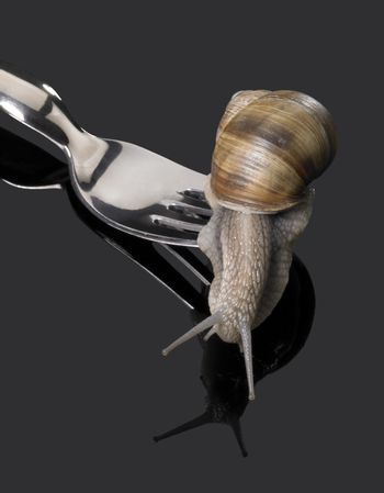 studio photography of a Grapevine snail leaving fork rakes in dark reflective back