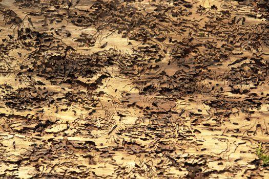 bark and bark beetle traces